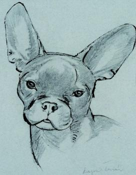 A French bulldog from the front